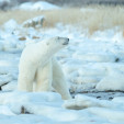Polar bears of Seal River,  Manitoba Canada